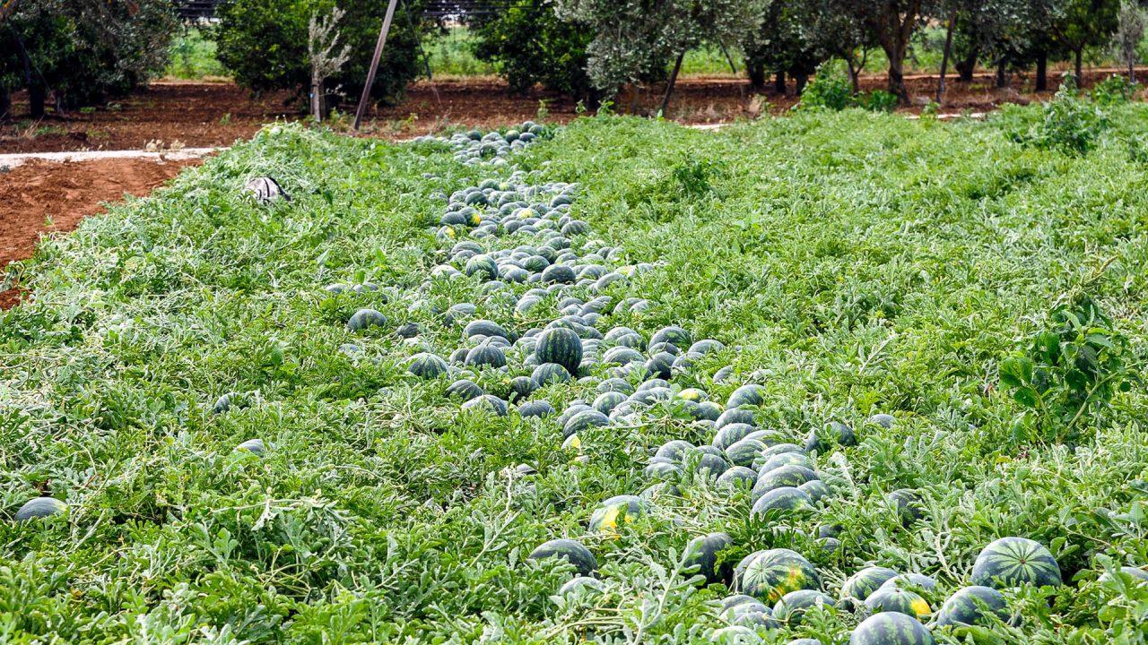 angurie e meloni - prodotti ortofrutticoli puglia