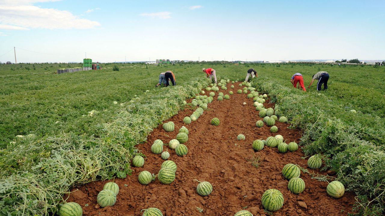 azienda produzione anguria