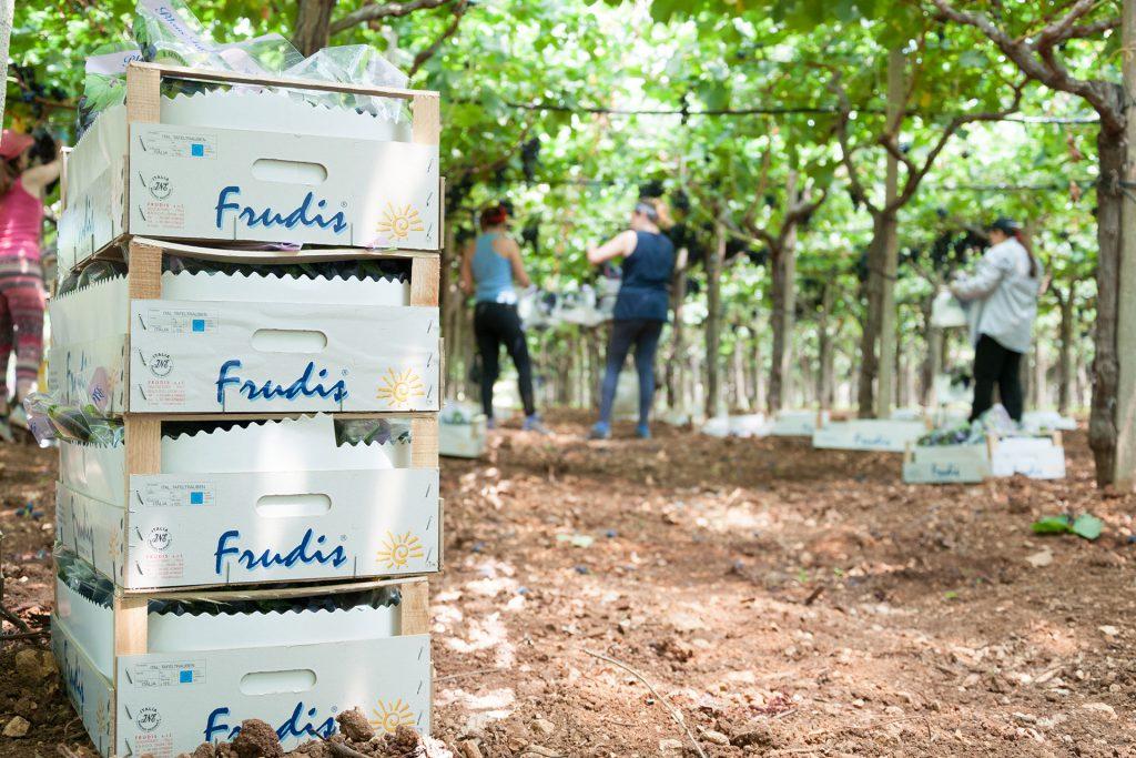 azienda produzione uva da tavola 04