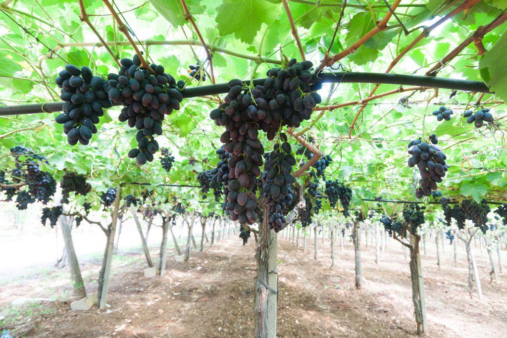 azienda produzione uva tavola seedless