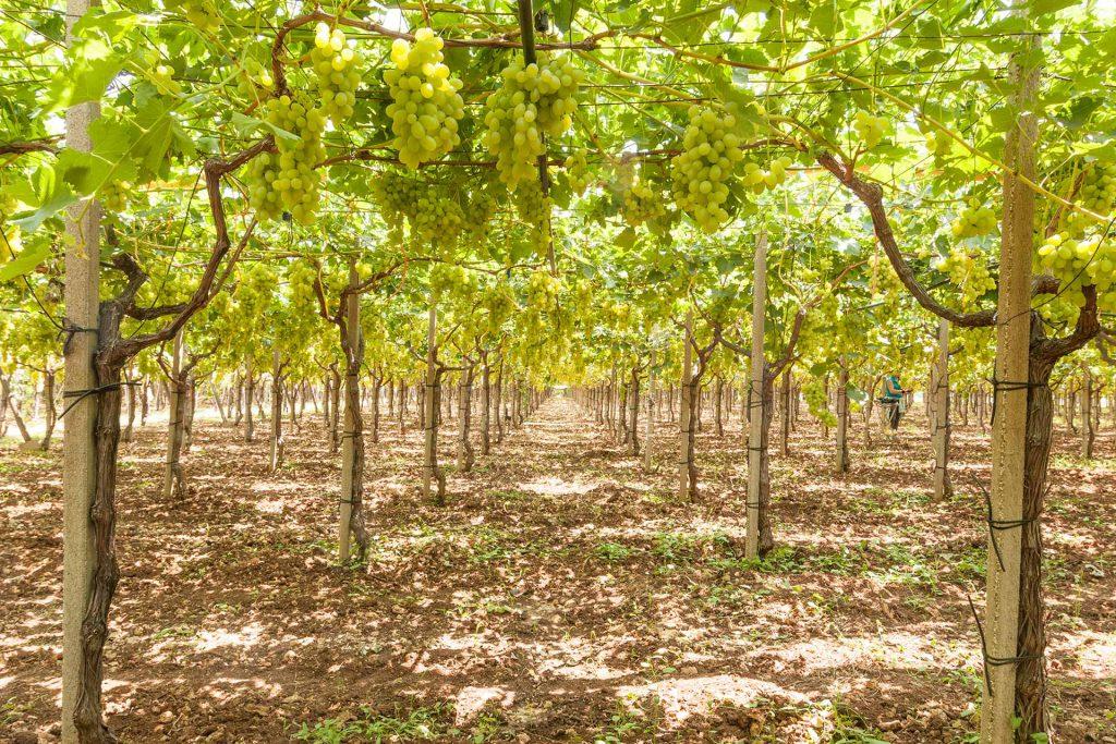 uva bianca - prodotti ortofrutticoli puglia