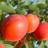 albicocca arancione