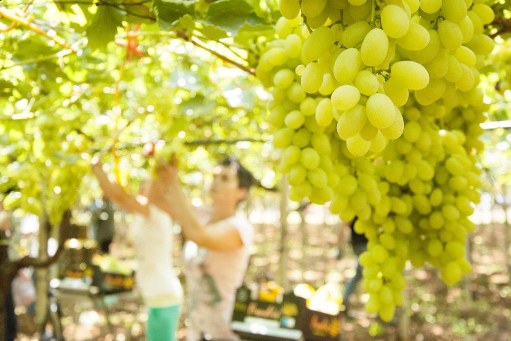 azienda produzione uva bianca