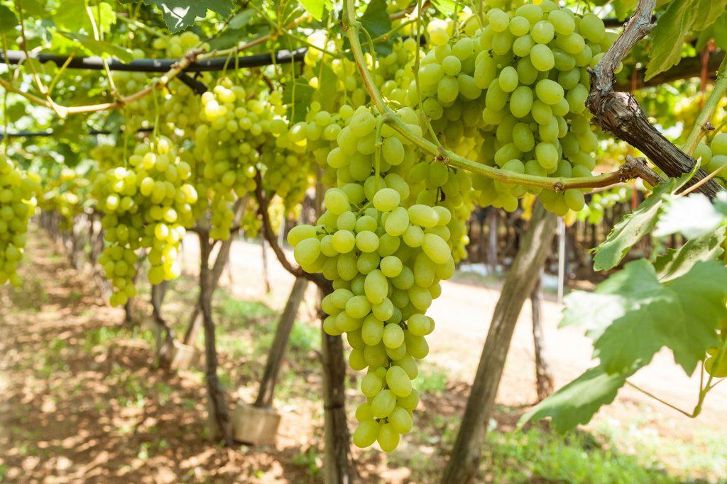 azienda produzione uva tavola bianca