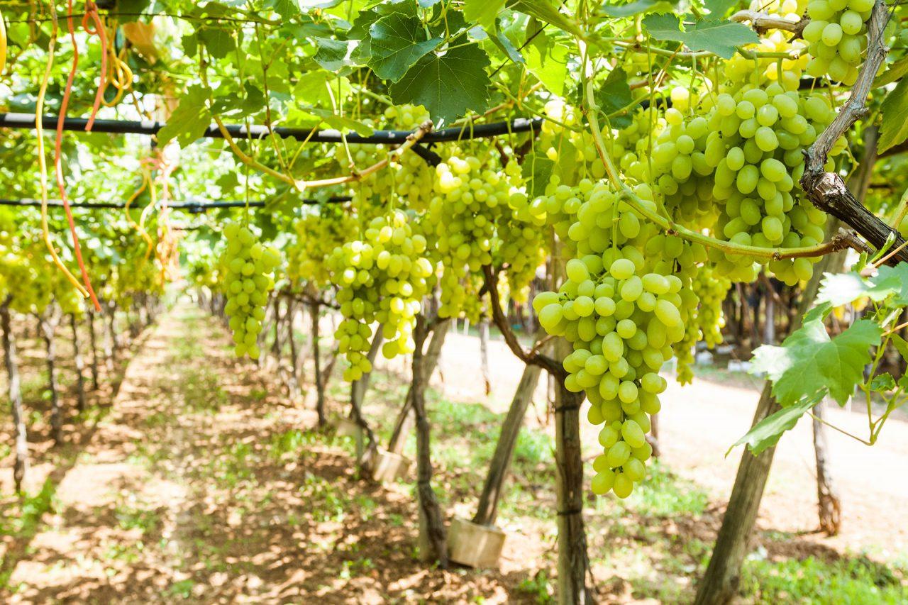 azienda produzione uva tavola bianca seedless