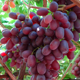 uva crimson seedless