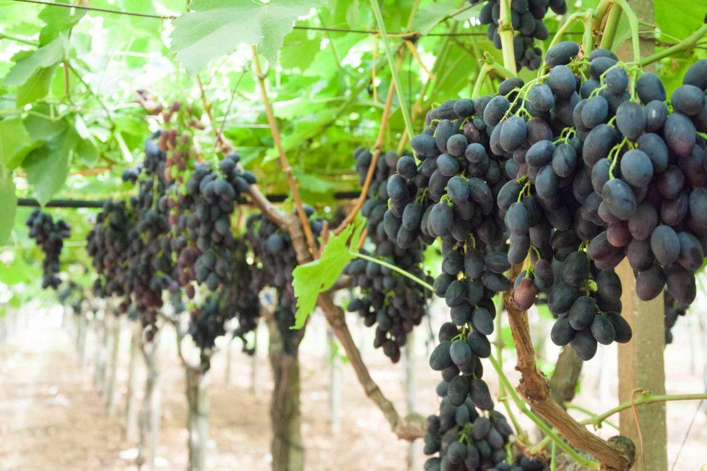 uva nera - prodotti ortofrutticoli puglia