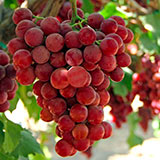 uva rossa flame seedless